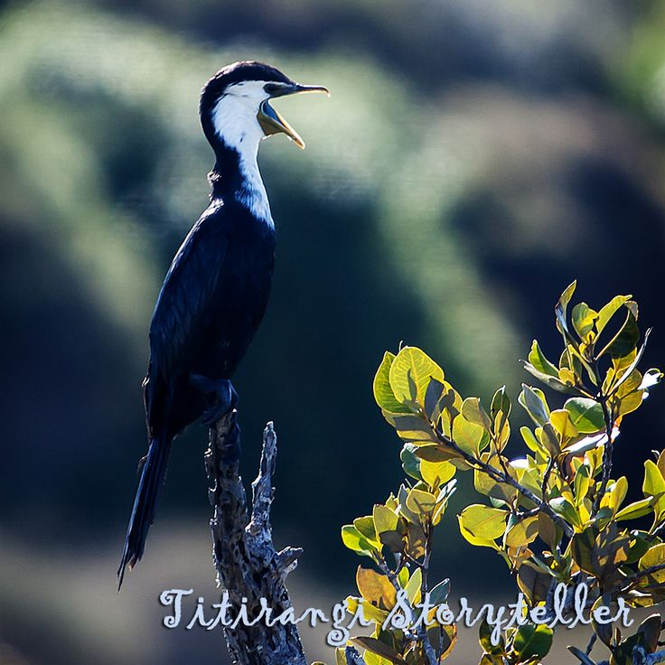 Tuhuna Cormorant - I continue my mission to photograph New Zealand's birds. This lovely cormorant was presiding over a mangrove mudflat at Tahuna Torea, a reserve in Auckland's eastern suburbs. He had rather a lot to say.