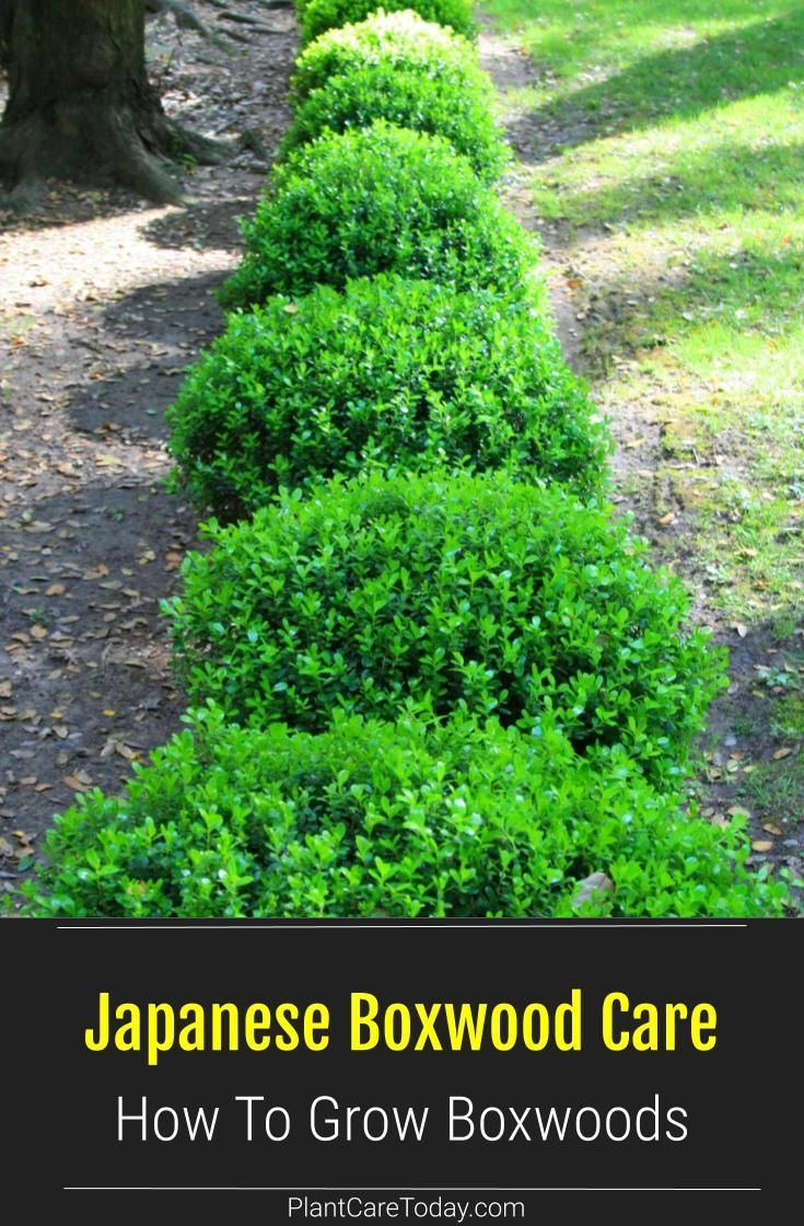 Boxwood Shrubs How To Grow And Care For Boxwoods Shrubs For Landscaping Boxwood Landscaping Shrubs For Borders