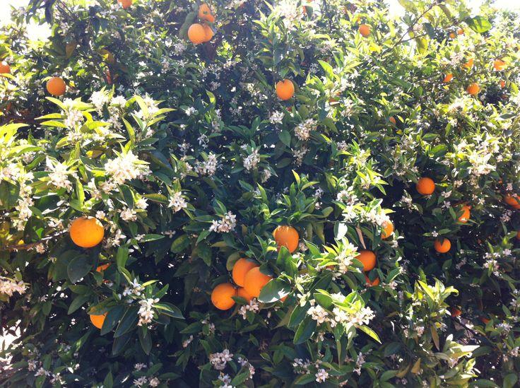 Flor de azahar de Naranjo de www.NaranjasKing.com