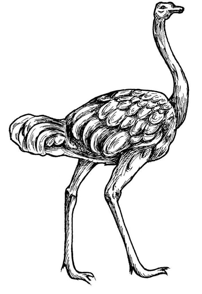 15 best Ostrich Coloring Pages images on Pinterest Coloring