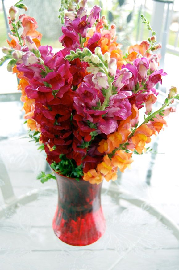 Best images about snapdragons on pinterest