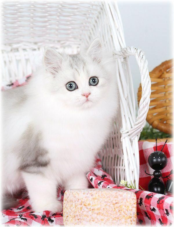Silver And White Bicolor Persian Kitten Cutestcatsandkittensever Persian Kittens Cats And Kittens Kittens