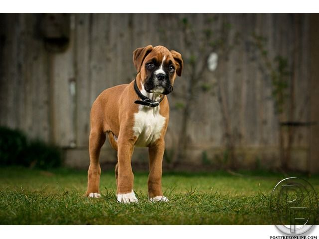 Looking For Boxer Puppies In Mumbai