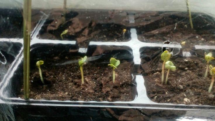 Small radishes :) reďkovky 4 deň od zasadenia. 4 - day