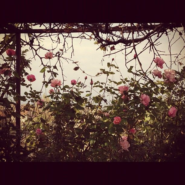 The roses... #Flowers