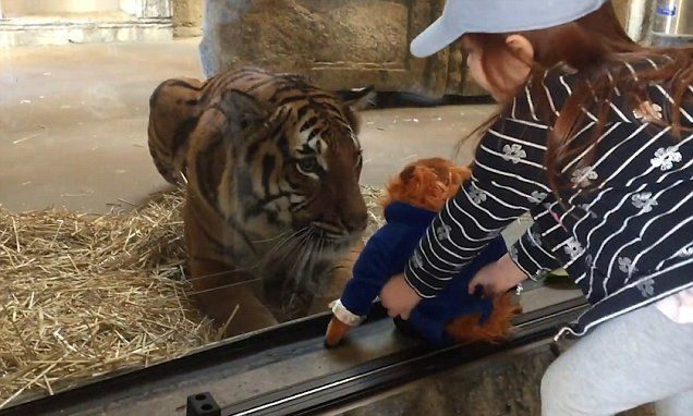 Tiger tries to snatch a three-year-old's cuddly toy at zoo #DailyMail
