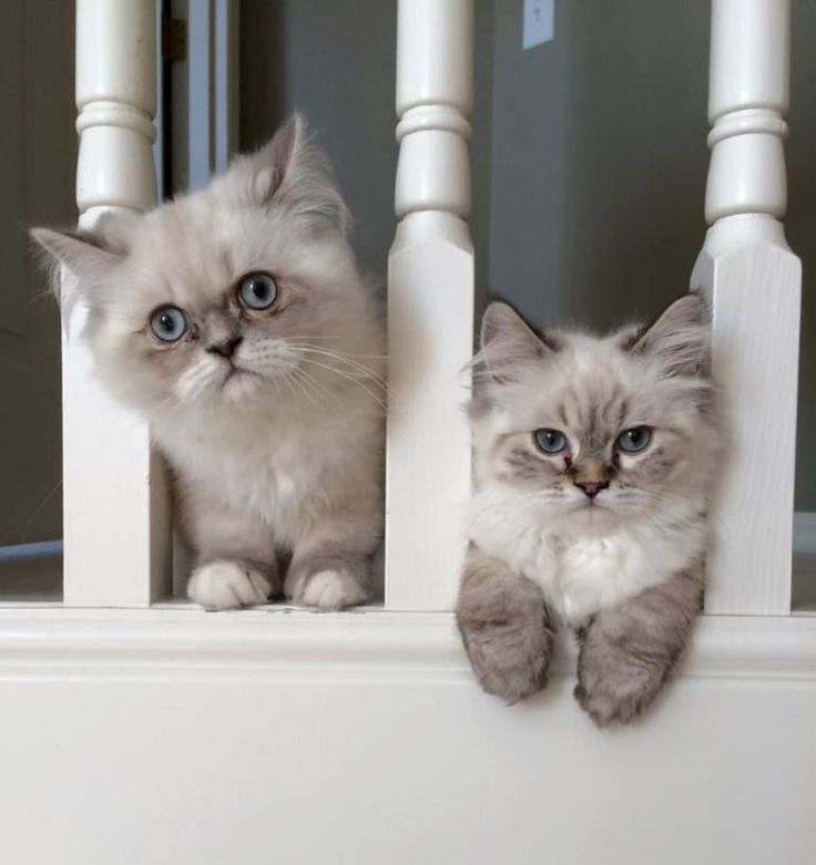 14 best Milo❤ /Samson images on Pinterest | Cute kittens, Fluffy ...