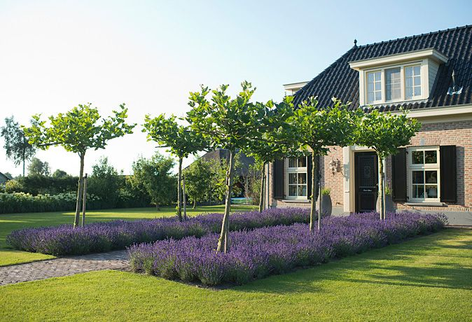 Broad lavender beds lead to house for added drama.
