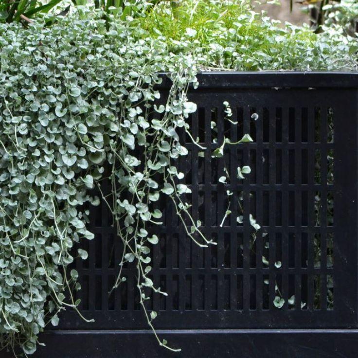 Buy Dichondra `Silver falls` on The Plant Hub