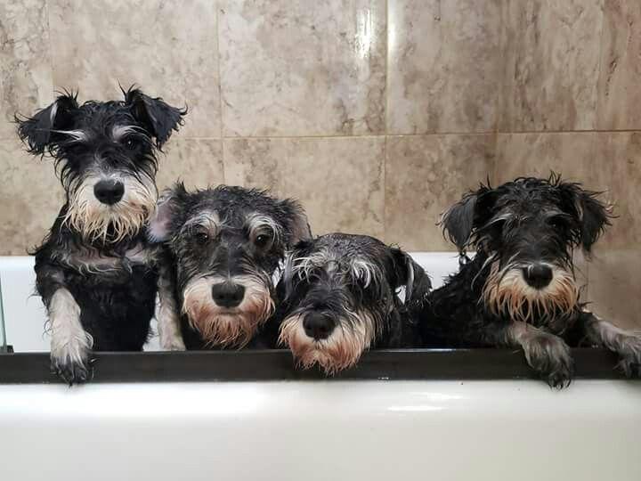 Pin By Linda Devaney On Schnauzer Love Mini Schnauzer Puppies
