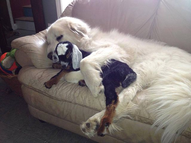 Great Pyrenees and little goat friend  .......Uploaded by www.1stand2ndTimeAround.etsy.com