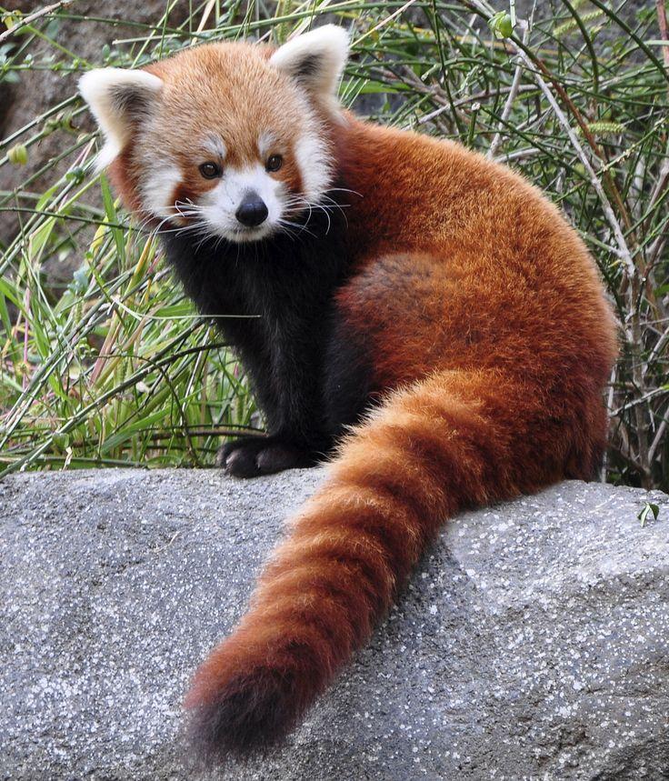 Red Panda | Connecticut's Beardsley Zoo
