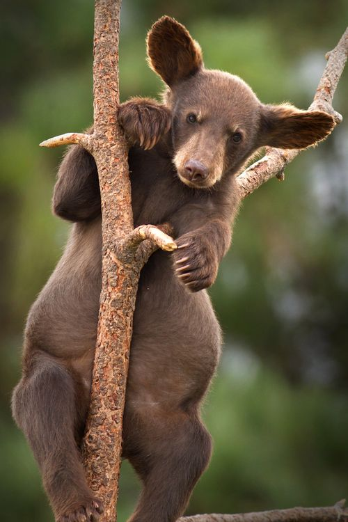 "baby bear- he's all ears. earth-song: ""I'll Grow Into Them!"" by Scott"