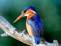 Kingfisher - Warthog Lodge  #bird, #nature, #birding, #SouthAfrica