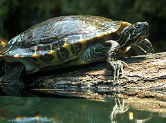 The yellow-bellied slider (Trachemys scripta scripta) is a land and water turtle belonging to the family Emydidae. This subspecies of pond slider is native to the southeastern United States, specifically from Florida to southeastern Virginia, and is the most common turtle species in its range. It is found in a wide variety of habitats, including slow-moving rivers, floodplain swamps, marshes, seasonal wetlands, and permanent ponds.