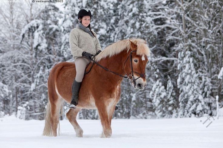 Ratsastusta talvella - 20-30 aikuinen eläin harrastus hevonen ihminen kaunis kavioeläin lumi luminen nainen nisäkäs nuori päivä ratsastaja ruskea suomalainen talvi talvinen ulkona vapaa-aika villapusero ratsastaja kaunis Equus caballus suomenhevonen hevosharrastus ratsastus