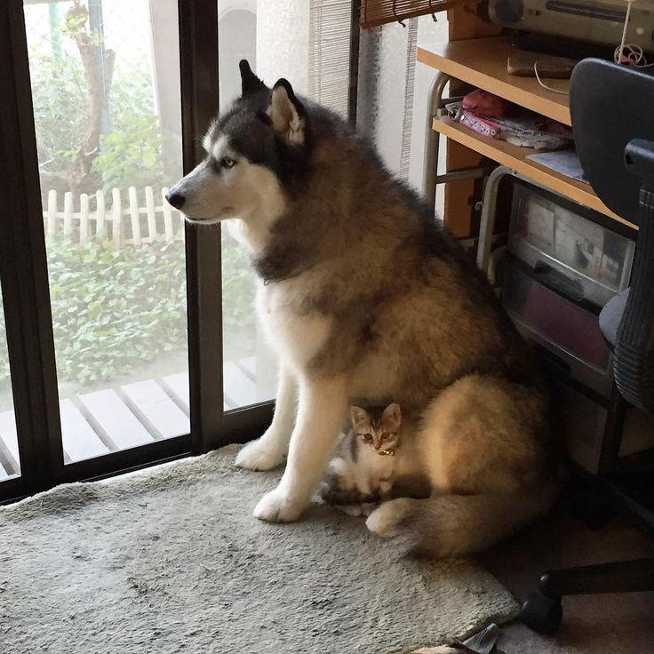 #husky #siberianhusky #ハスキー #シベリアンハスキー #huskylove #myhusky #huskylife #pet #pets #dog #dogs #sleddog #橇犬 #子猫 #猫 #cat #kitty