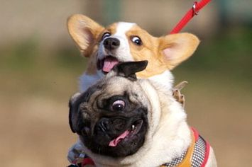 21-pug-and-corgi-best-friends-who-will-be-the-ver-1-6808-1380147085-0_big.jpg (355×236)