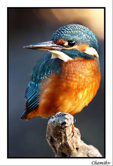 Martín pescador - Kingfisher