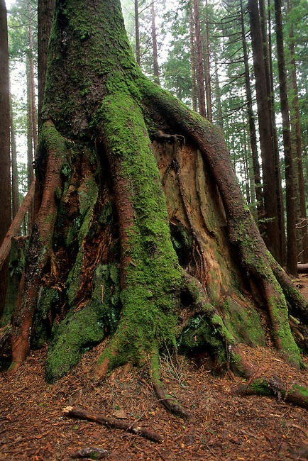 Tree roots growing over old growth stump, Redwood Park ...