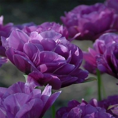 100+ Peony Purple Flower Seeds - Under The Sun Seeds - 1