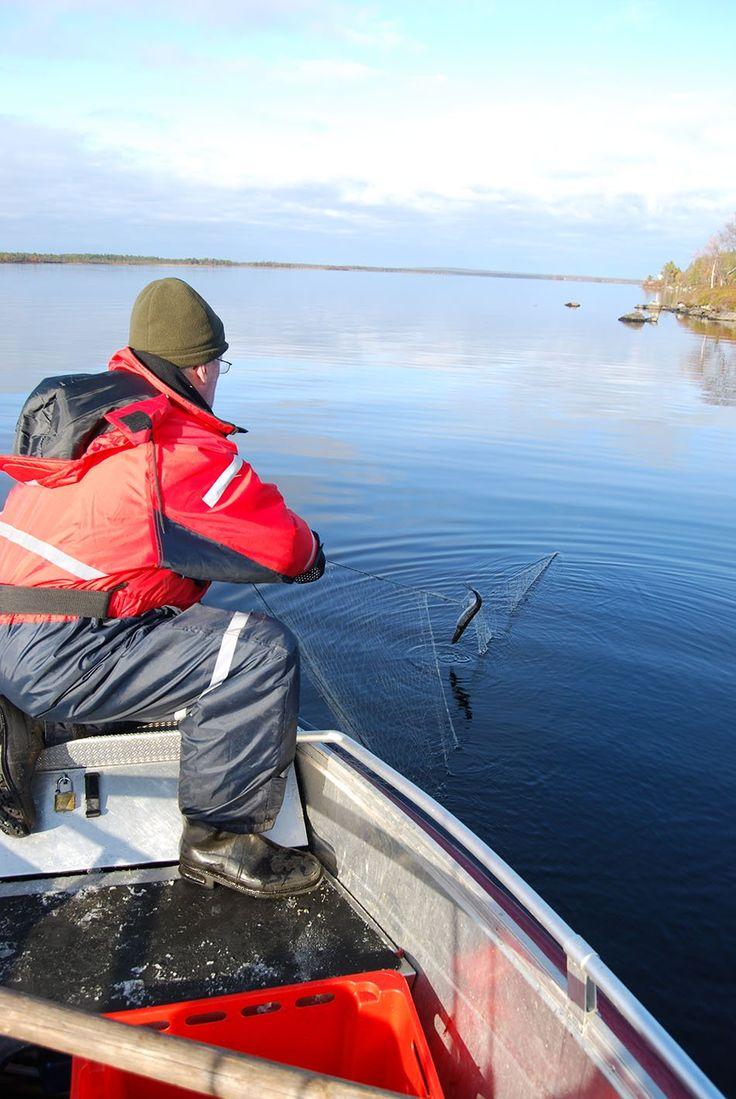 Siika vaatii kalastavat verkot - Kivikangas