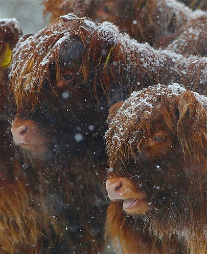 Image: Highland cows (© David Moir/Reuters)