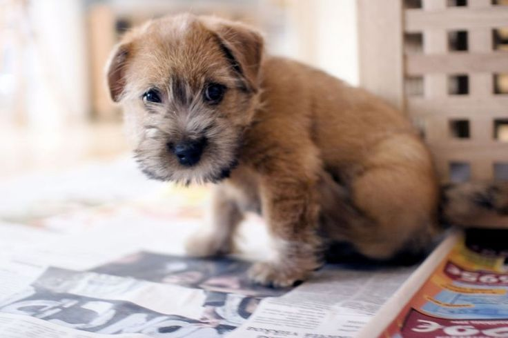 The Norfolk Terrier  Avg Life Expectancy: 14 yrs Origin: Europe and England This adorable terrier is a small purebred known for being alert, friendly, and independent. These doggies are usually either black, tan, or red. They are a little tough to train, but are highly adaptable to apartment-living and don't need a yard.