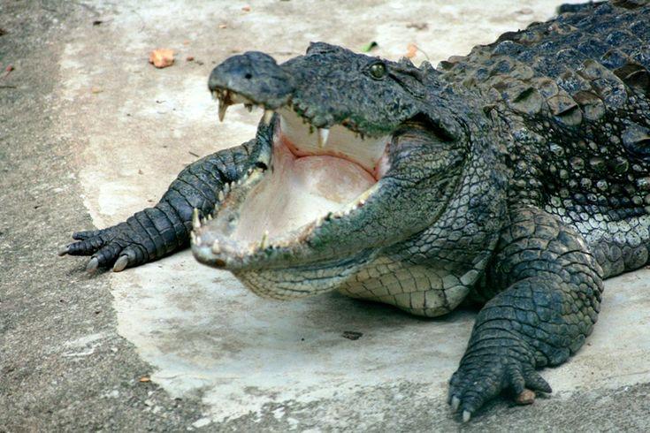 Mugger crocodile - Cocodrilo de Marjal, reptil nacional de Pakistán