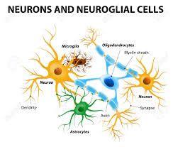 Resultado de imagen de celulas neuroglia