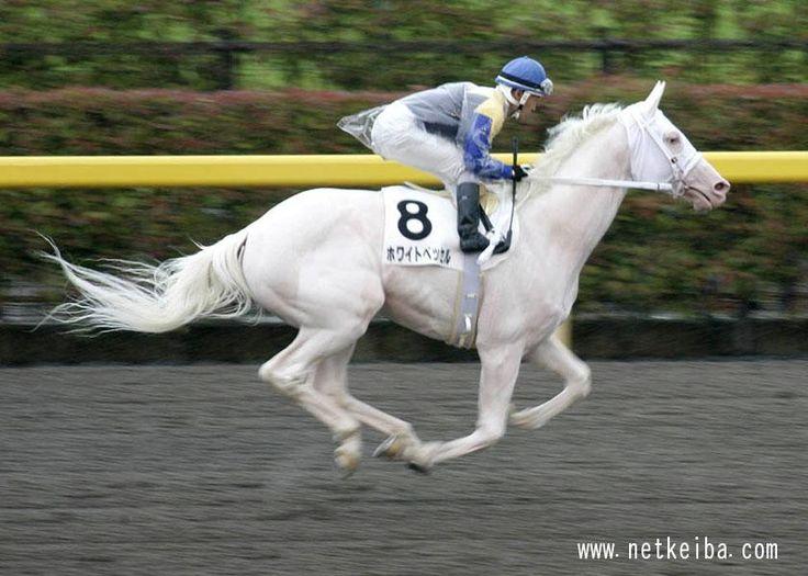 Rare pure white thoroughbred racehorse