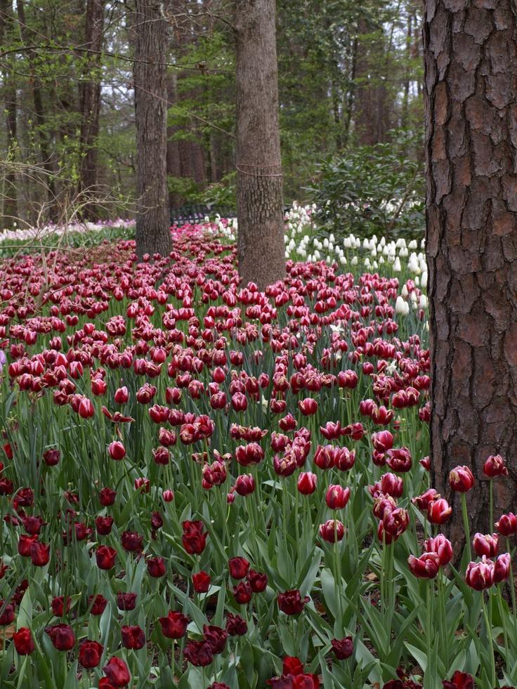Tulips, Garvan Gardens, Hot Springs Arkansas