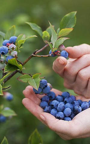 Greene's Blueberry Patch / Blueberry Farm / Boone