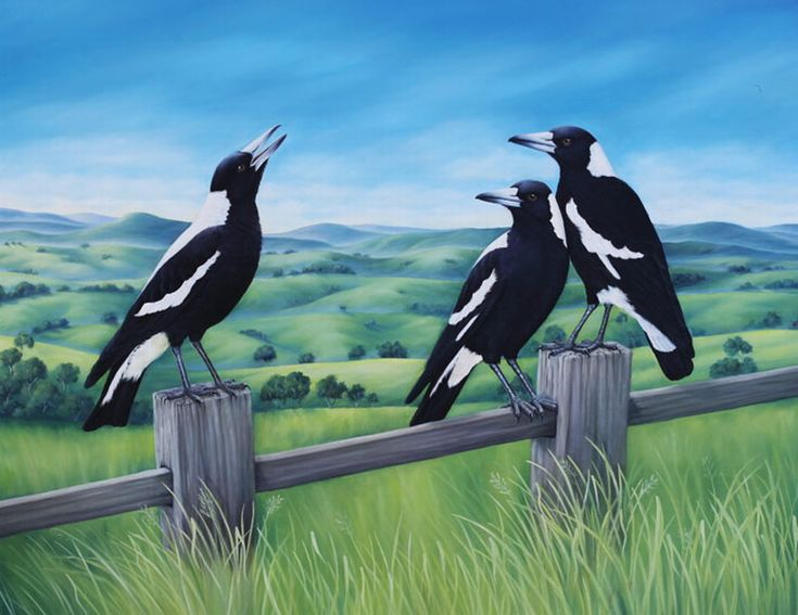 Magpies-Australian-Native-Birds- they are wonderful singers with a glorious warbling tune but are pests in nesting season dive bombing all who dare walk within their range.