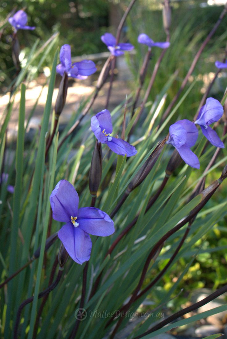 1000  images about australian native plants on pinterest