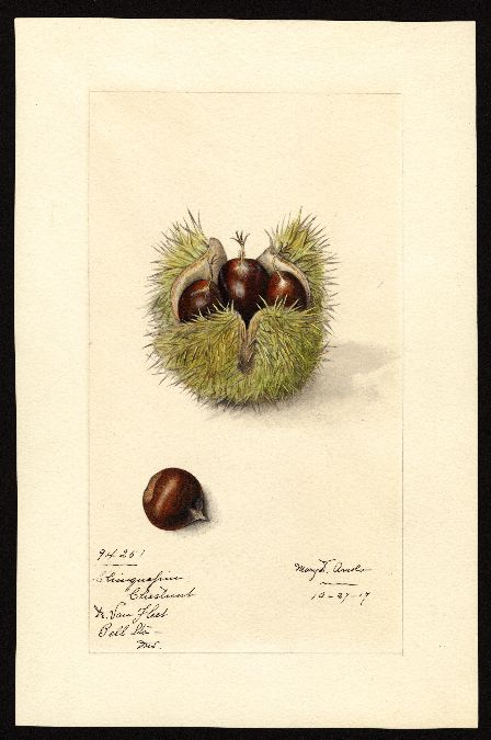 Chestnuts (1917). Watercolour by Mary Daisy Arnold (1873-1955).Image and text courtesy U.S. Department of Agriculture Pomological Watercolor Collection. Rare and Special Collections, National Agricultural Library, Beltsville, MD 20705