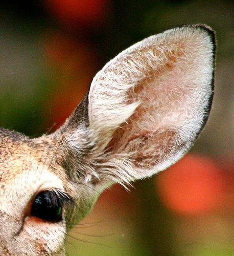 deer ears   photo