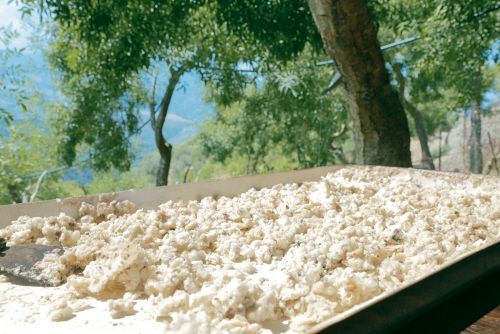 Once it is cleaned, the Manna Ash is left to dry.