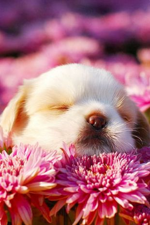A little puppy asleep in the flowers.  How adorable.  #puppied PP: Spring Cutie. Kudos to the photographer!