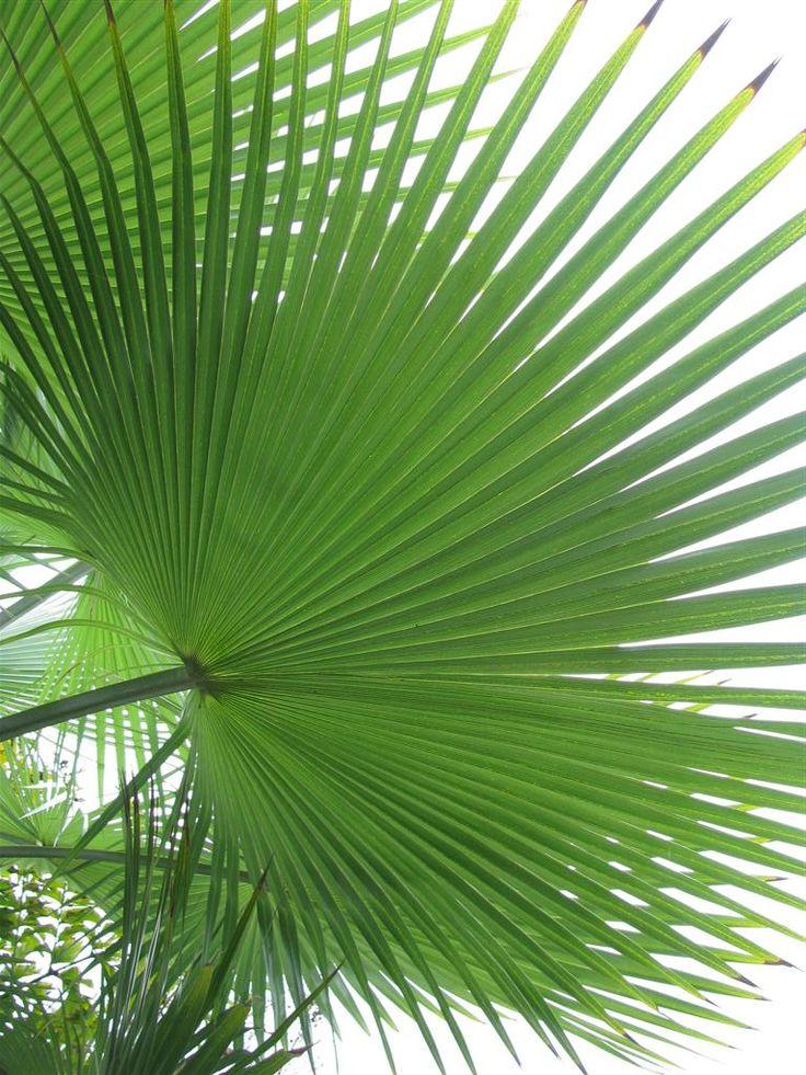 Fan palm leaf example