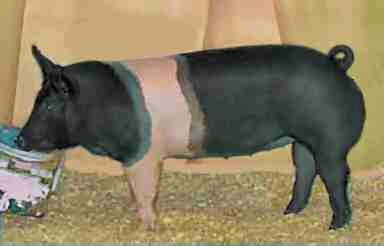 hampshire pig - We raised these since I was a kid my first pet sow was a Hampshire she loved being cooled off by the water hose.