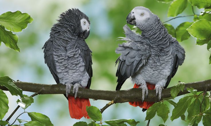 Convention in Johannesburg votes to end all international trade in popular pet birds whose populations have plummeted