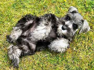 i want a toy schnauzer... a toy schnauzer would be a perfect mix with my two minis!