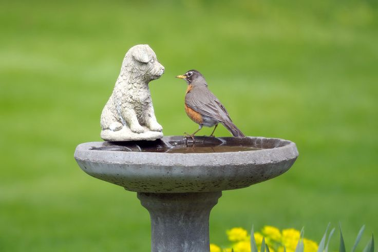 Robin in bird bath. DIY How to Build a Concrete Bird Bath.