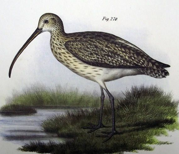 1860  Eurasian Curlew Bird  early lithograph with hand