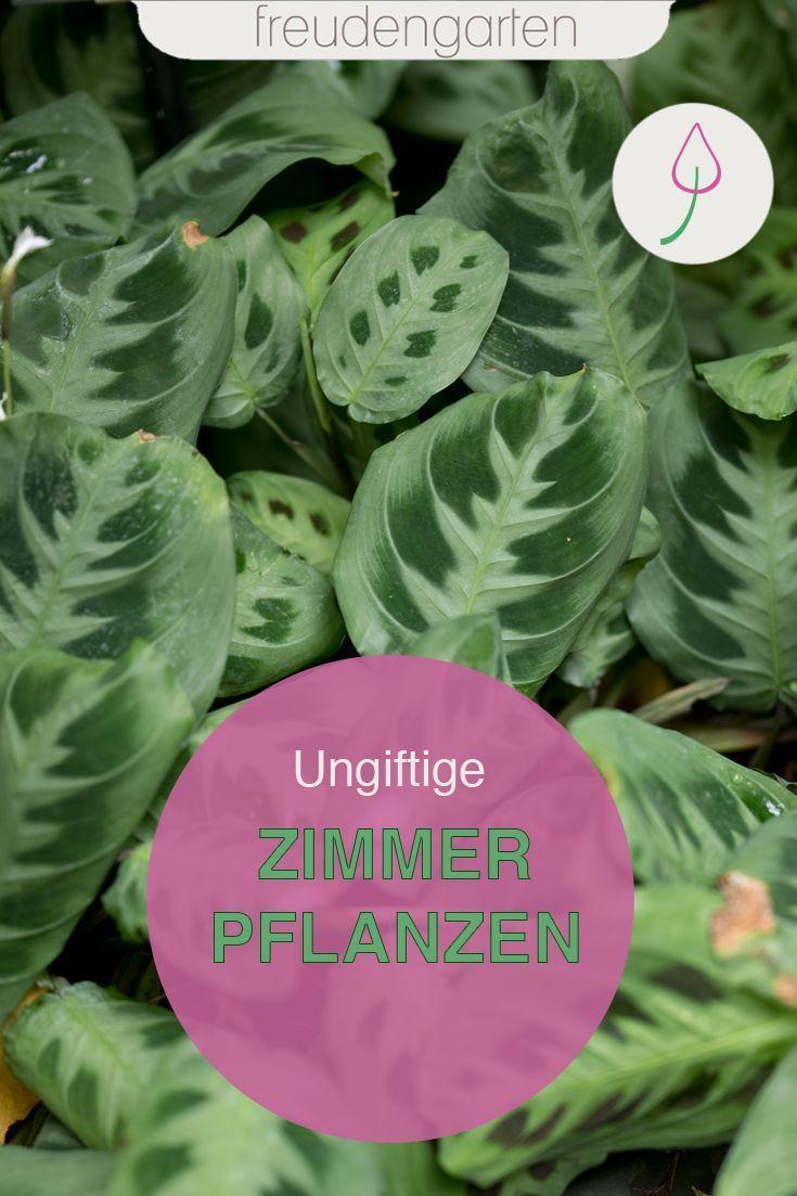Ungiftige Zimmerpflanzen Pflanzen Ungiftige Zimmerpflanzen Zimmerpflanzen