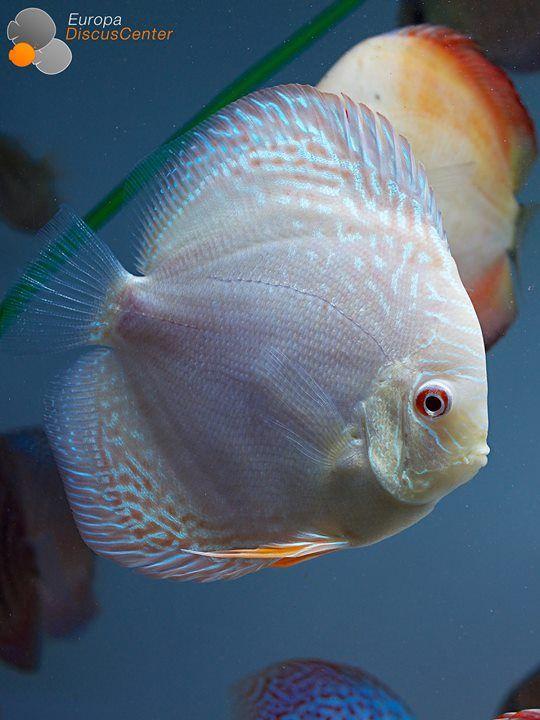 die besten 25 diskusfische ideen auf pinterest tropische fische s wasserfische und. Black Bedroom Furniture Sets. Home Design Ideas