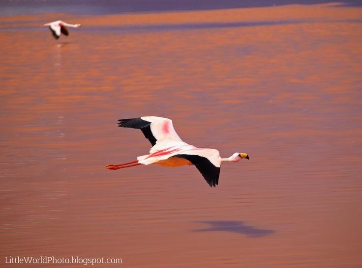 Flying James flamingo, Laguna Colorada, Bolivia