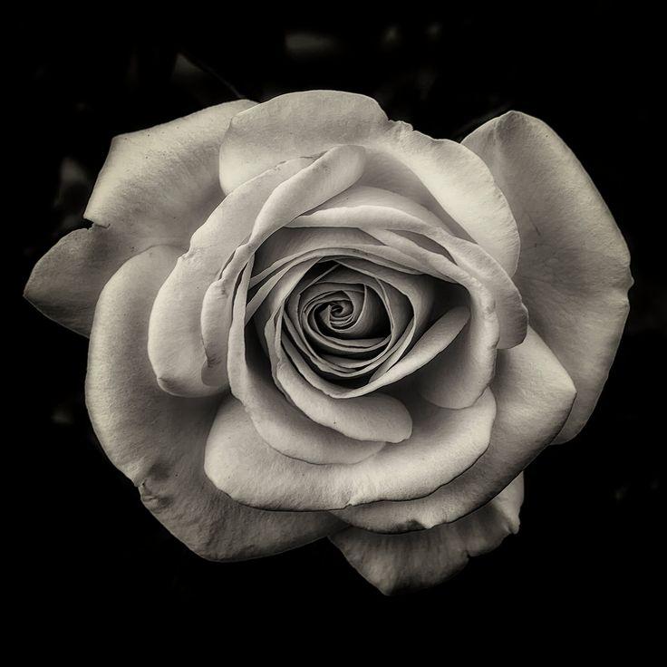 роза картинки красивые на телефон черно белые вас то, что
