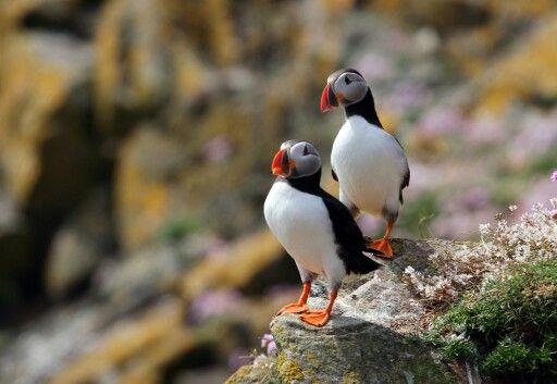 Puffins, Saltee Islands, Wexford, Ireland